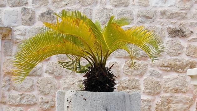 Gajenje palme u saksiji - © Pixabay