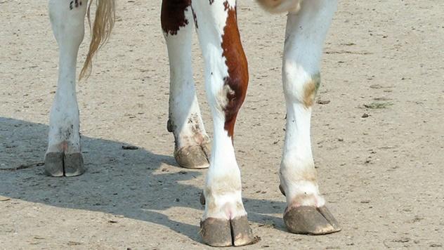 Kako sprečiti bolest papaka kod mlečnih krava - © Pixabay