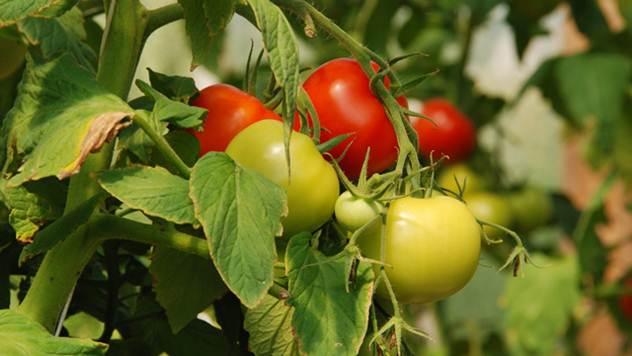 Neven štiti paradajz od biljnih vaši - © Agromedia