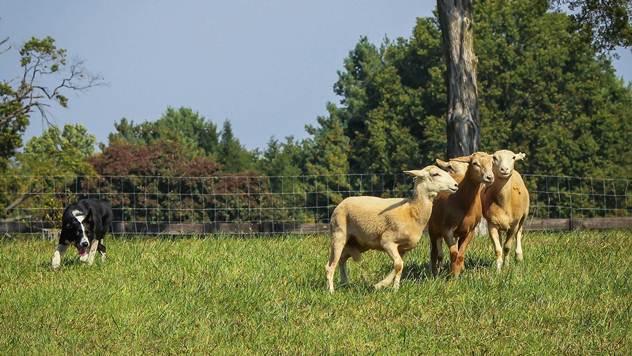 Pas za čuvanje stoke na farmi - © Pixabay