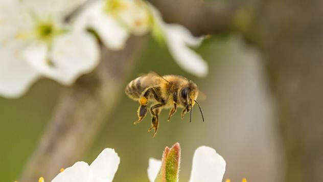Matica kontroliše pčele svojim feromonom - © Pixabay
