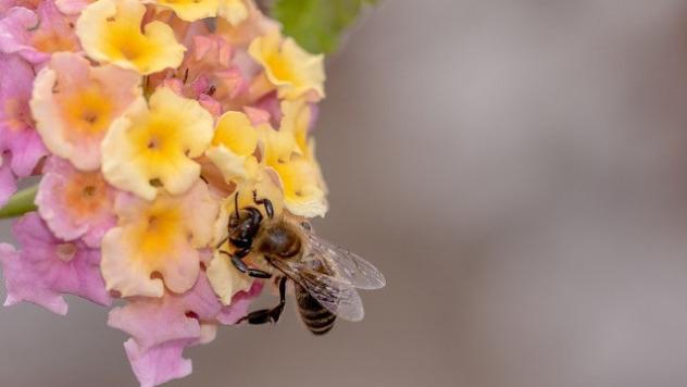 Pčela na paši © Pixabay