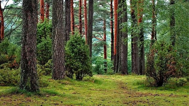 Borova šuma © Pixabay