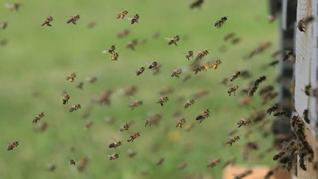 Jezik pčela je najkompleksiniji u celom životinjskom svetu - © Pixabay