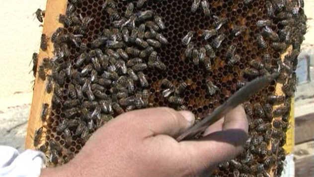 Srpske pčelinje matice se prodaju u inostranstvu - © Pixabay