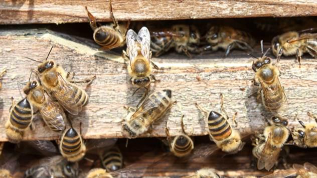 Pravilnik o obeležavanju pčelinjih društava - © Pixabay
