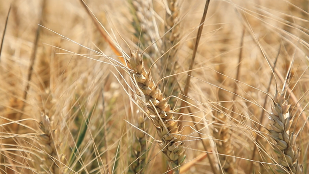 Pšenica © Agromedia