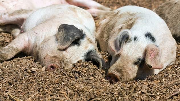 Pregovori Industrije mesa Mitros i sremskih stočara mogu trajati i do dve godine - © Pixabay