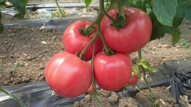 Roze paradajz @AGROmedia