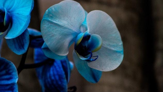 I u plavu orhideju ubrizgava se pigment - ©Pixabay