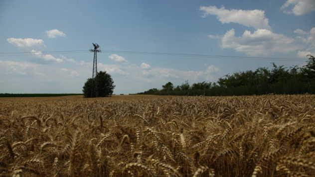 Polje kukuruza © - Agromedia
