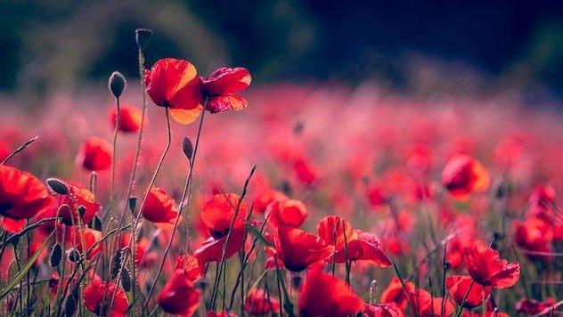 Cveće maka na polju