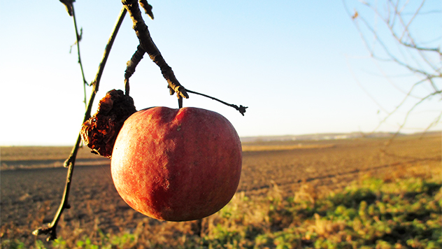 Poslednja jabuka ove jeseni -  ©Agromedia