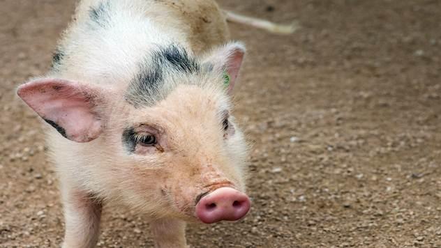 Pored slame svinjama treba davati i sojine ljuspice, kašu od šećerne repe i ovas - © Pixabay