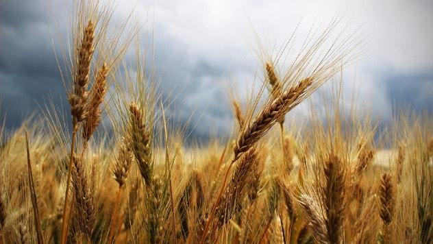 Pšenica © Pixabay