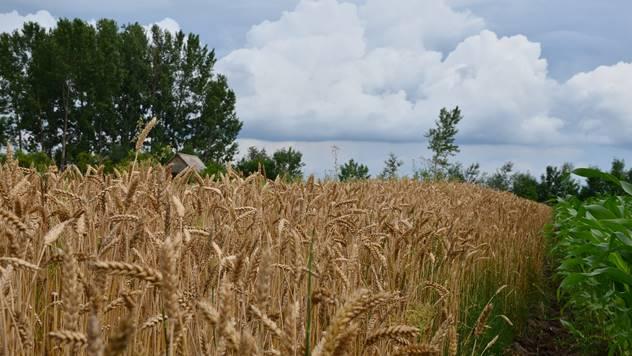 Proizvodnja pšenice - © Pixabay