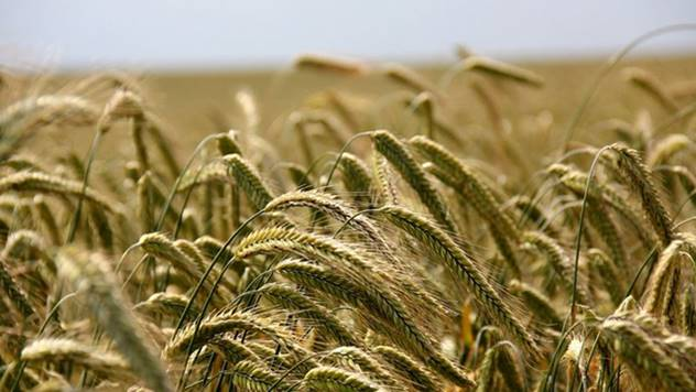 Ilustracija: Cena pšenice još nepoznata - © Pixabay
