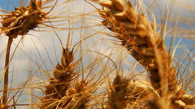 Pšenica sve neotpornija na klimatske promene - © Agromedia