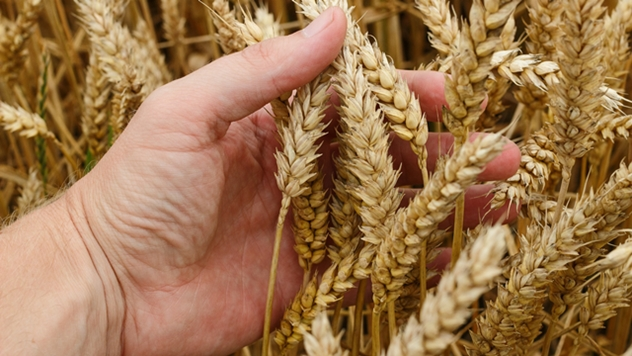 Pšenica - © Pixabay