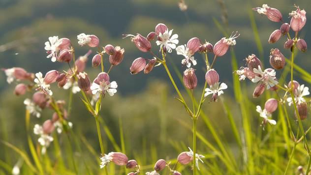 Lekovita biljka pucavac - © Pixabay