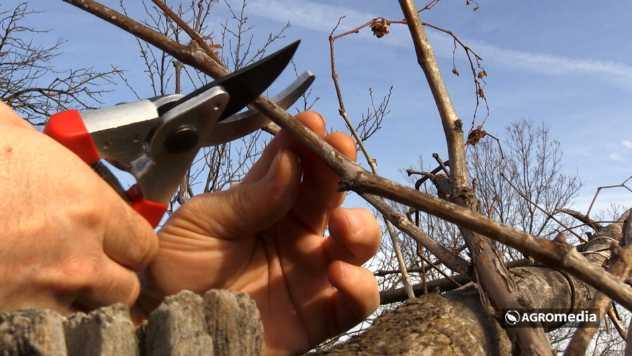 Rezidba vinove loze © AGROmedia