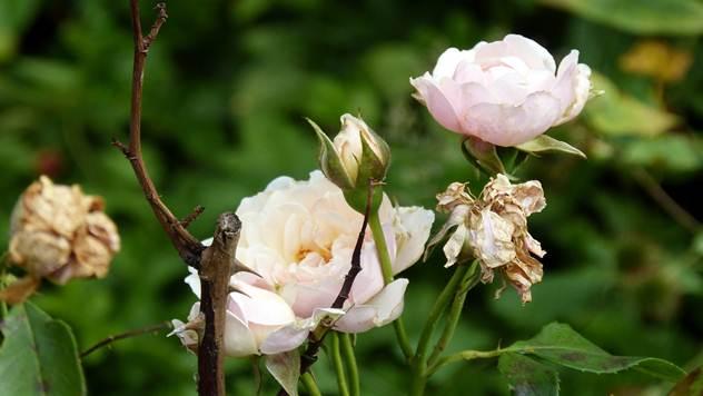 Pepelnica je jedna najčešćih bolesti koje napadaju ruže - © Pixabay