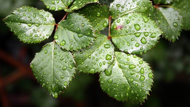 Rđanje ruža je najpodlija bolest koja može da napadne ruže - © Pixabay