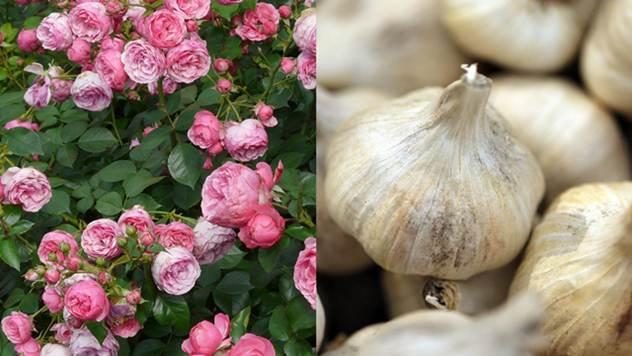Ove biljke međusobno sarađuju u bašti - © Agromedia