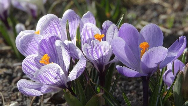 Cvetovi šafrana © Pixabay