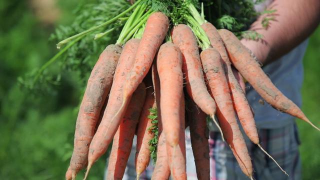 Proizvodnja šargarepe - © Agromedia