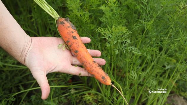 Hibridi šargarepe visokih prinosa - © Agromedia