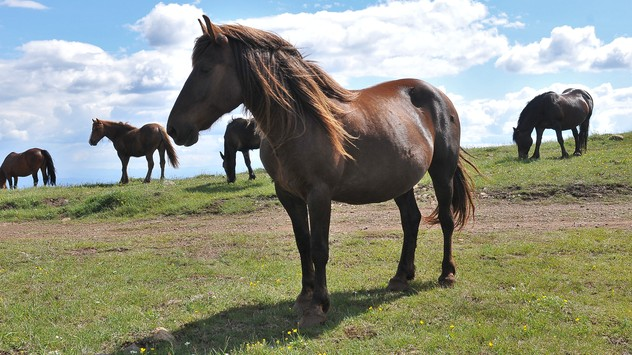 Divlji konji © Milanko Danilović