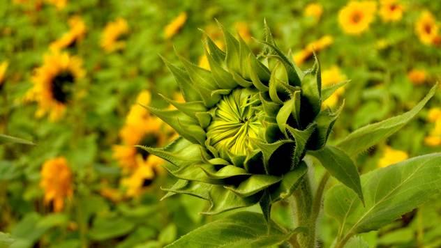 sunflower© Pixabay