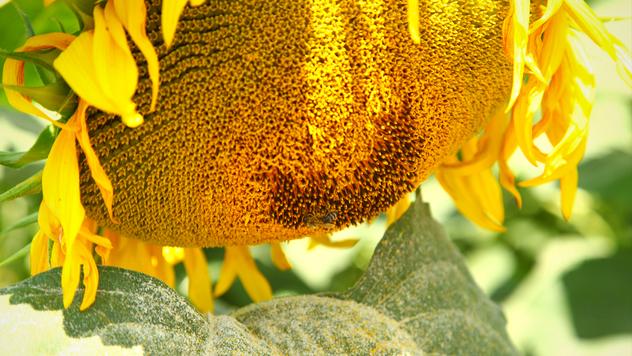 Suncokret ©Agromedia