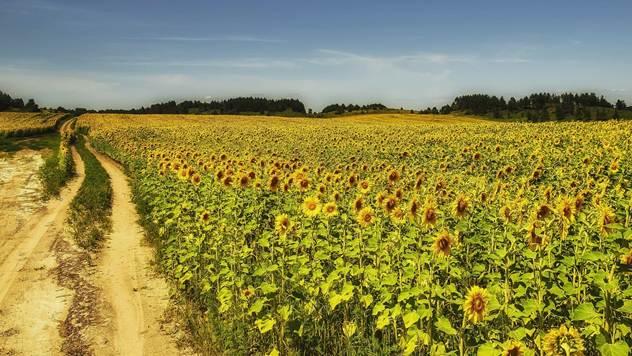 Suncokret - © Agromedia