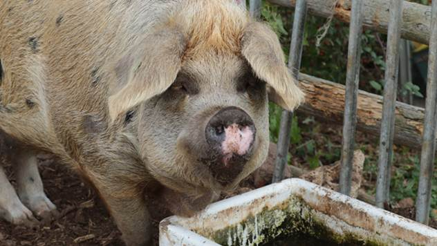 Unošenje kvasca u ishranu smanjuje toplotni stres kod svinja - © Pixabay