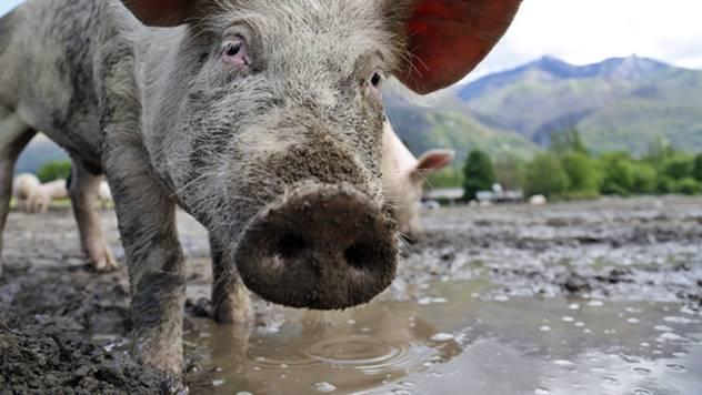 Svinja u blatu - © Pixabay