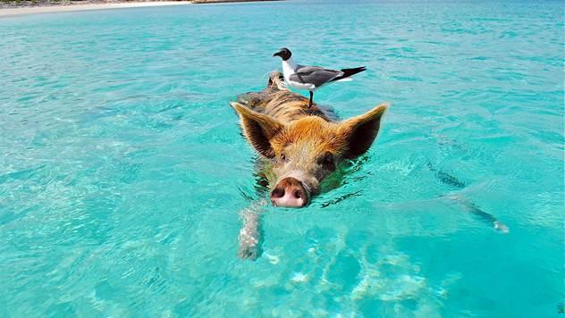 Svinje na Bahamima znaju da plivaju u moru - © Pixabay