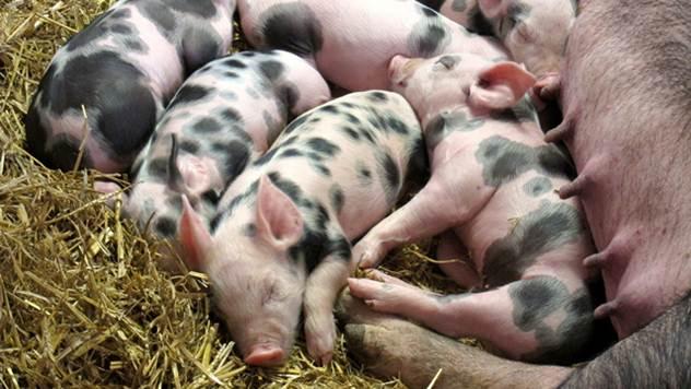 Cena svinja u našoj zemlji - © Pixabay