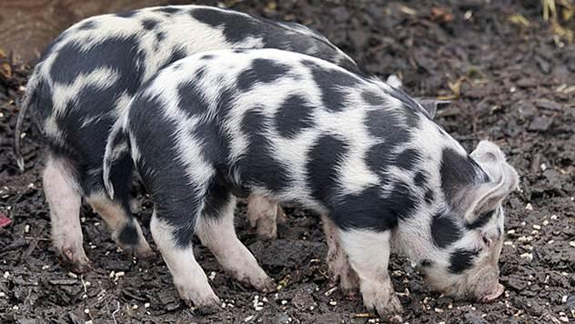 Ishrana svinja - © Agromedia
