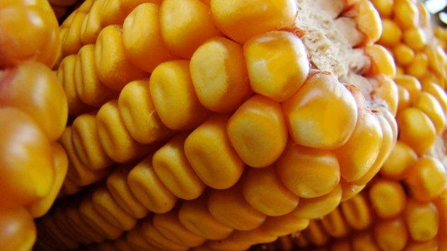 Sve boje zlatnog zrna kukuruza!