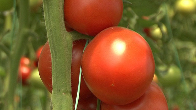 Više lica paradajza