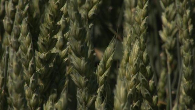 Merkantilna i semenska pšenica – DTD Ribarstvo