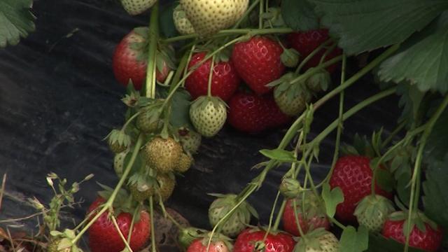 12 vrhunskih hibrida jagoda za uspeh u proizvodnji