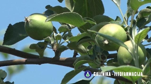 Savet za voćare koji žele da im plodovi jabuka budu kvalitetni, krupni i zdravi