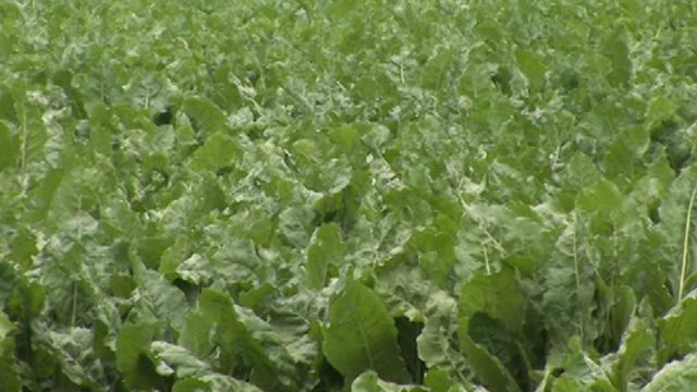 Kako da zaštitite Vašu šećernu repu od cerkospore?