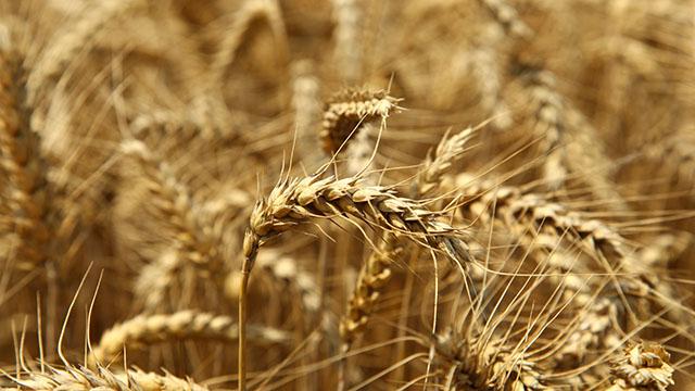 Ovogodišnja cena pšenice nije zadovoljavajuća - kažu poljoprivrednici