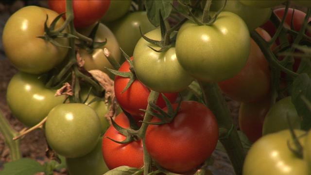 Da li je i paradajz ugožen uvozom?