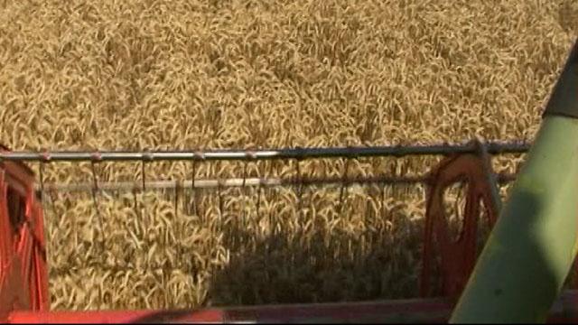 Šta sve utiče na ovogodišnju cenu pšenice?