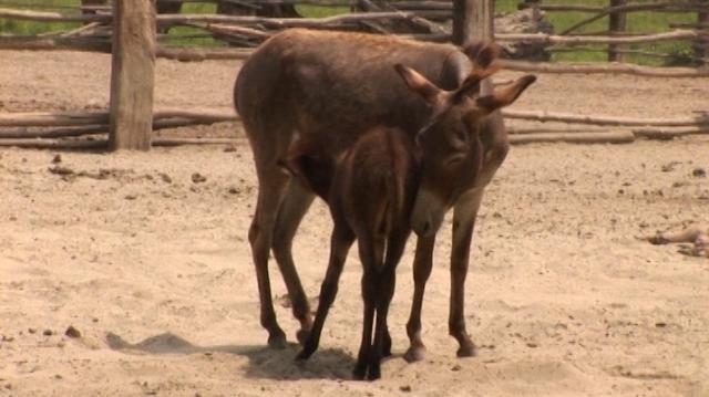Krčedinska ada – rezervat prirode sa 500 domaćih životinja